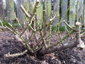 Побеги розы флорибунда гнутся с трудом, поэтому на зиму их не пригибают, а обрезают на высоту 30-40 см.